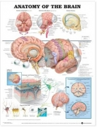 ANATOMY OF THE BRAIN ANATOMICAL CHART (WALLCHART)